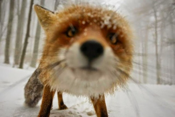 Image result for foxes in fall